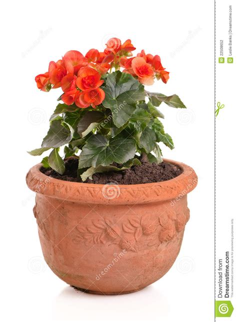 picture of a flower pot orange begonia in a flower pot stock photography image 22508652