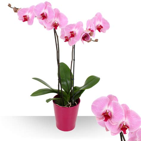 entretien d une orchidee great orchide racines with