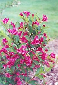 Weigela Bristol Ruby : bristol ruby weigela weigela florida 39 bristol ruby 39 in ~ Michelbontemps.com Haus und Dekorationen