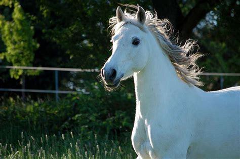 image pferde araberjpg pferde wiki fandom powered