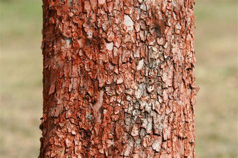 apfelbaum krankheiten stamm apfelbaum hat rote rinde 187 ursachen ma 223 nahmen