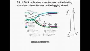 Dna Replication Is Continuous On The Leading Strand And