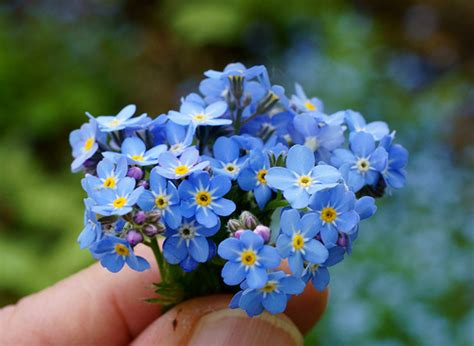 tiny blue flower tiny blue flowers flickr photo sharing