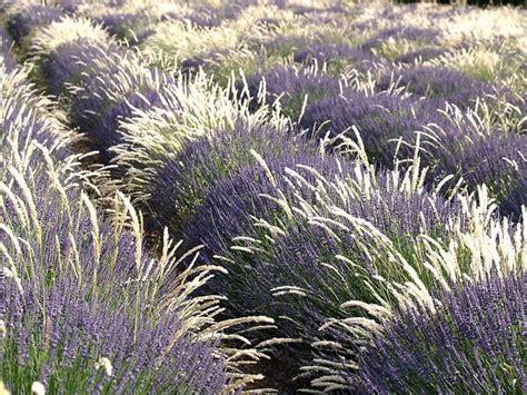 Lavendel Und Gräser lavendel und gr 228 ser foto bild landschaft 196 cker