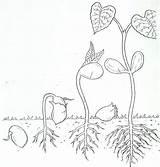 Kinder Germination Jeffersonclan sketch template