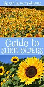The Complete Old Farmer U0026 39 S Almanac Guide To Sunflowers  How