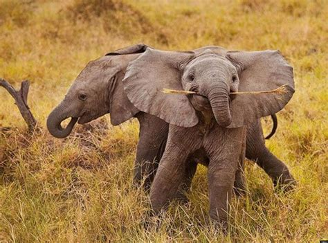 Baby Elephants  Jodi L Milner, Author