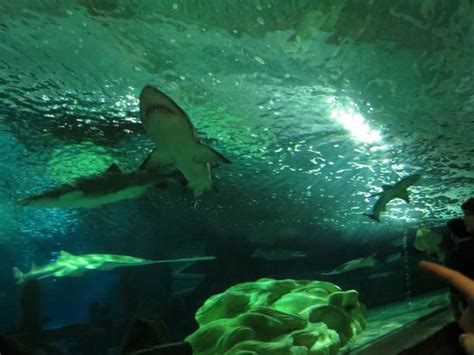 foto de sea minnesota aquarium bloomington sharks tripadvisor