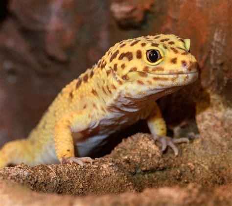 gecko leopard aquarium geckos leopardgecko species zone facts mt