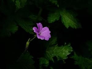 Pflanze Lila Blätter : kostenloses foto zum thema abstrakt bl tter blumen wallpaper ~ Eleganceandgraceweddings.com Haus und Dekorationen