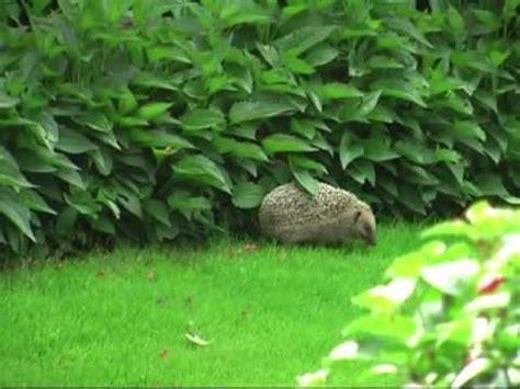 Igel Im Garten  Hedgehog In Our Garden Youtube