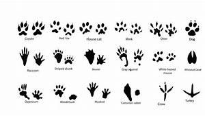 Deciphering Winter Animal Tracks   New York State Parks Blog