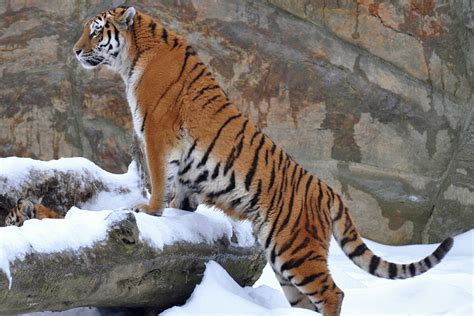 Tiger Animal Wallpaper - 51 tiger animal facts backgrounds hd wallpapers