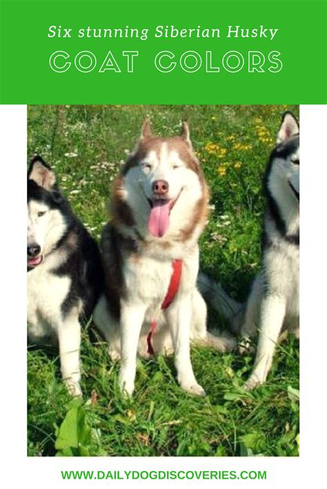 husky coat colors six stunning siberian husky coat colors daily