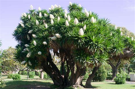 yucca palme ableger yucca palme richtig pflegen abschneiden plantura