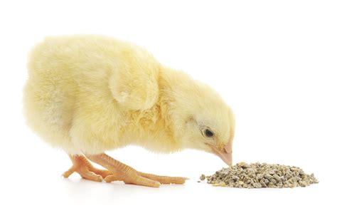 pollito comiendo menos de mgb scanco equipos