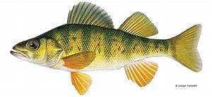 Yellow Perch | Vermont Fish & Wildlife Department  Perch