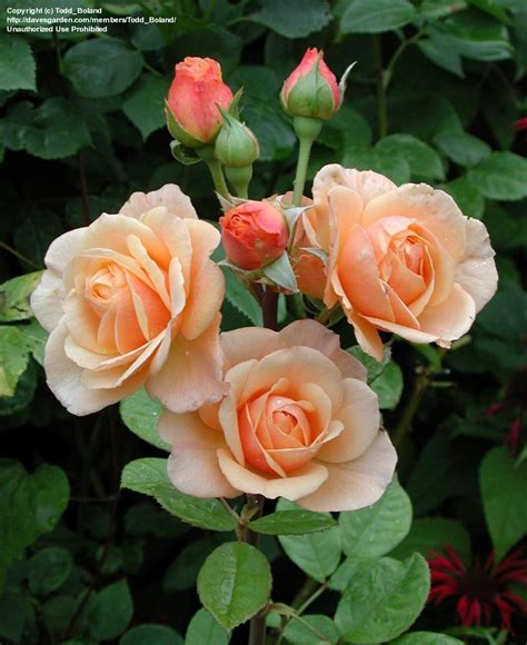 austen roses david austin evelyn rose plantfiles picture 6 of english rose austin rose evelyn rosa