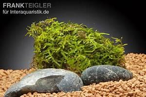Pflanzen Auf Stein : javamoos vesicularia dubyana auf lavastein aquariumpflanzen pflanzen auf holz stein ~ Frokenaadalensverden.com Haus und Dekorationen