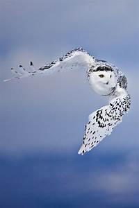 17 Best ideas about Owl Pet on Pinterest   Owls, Baby owls ...