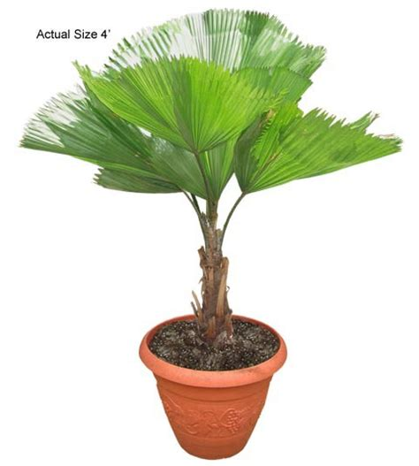 planting fan palm trees buy bonsai trees ruffled fan palm tree licuala grandis