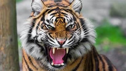 Tiger Face Cat Anger Teeth
