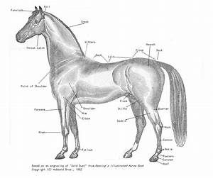 Equine Conformation
