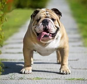 Victorian Bulldog Info, Temperament, Training, Diet ...