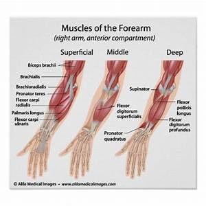 Forearm Flexor Muscles  Labeled Drawing  Poster