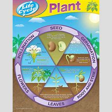 Plant Life Cycles Chart  Tcr7714  Teacher Created Resources