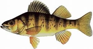 Canadian Aquaponics: SET-UP - Fish - Perch  Perch