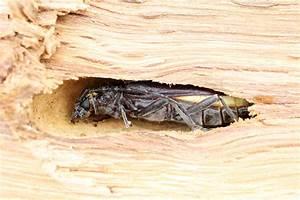 Insecte Qui Mange Le Bois : aziatische boktorren aangetroffen in het brabantse berghem ~ Farleysfitness.com Idées de Décoration