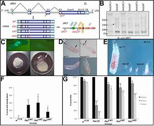 The Drosophila Ret Gene Functions In The Stomatogastric
