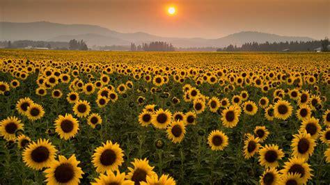 sunflowers  spokesman review