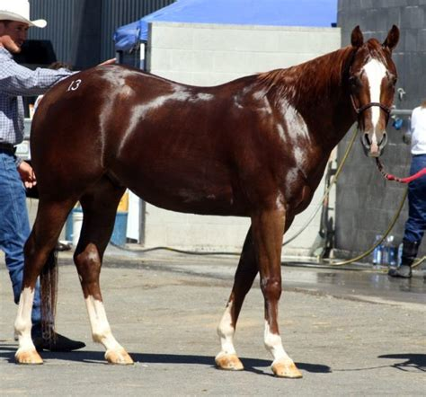 quarter horse american gelding horses tall aqha height file aqh qh advice commons much wikimedia vet trainer expert pets owner