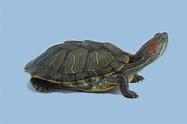 The Paris Review - Turtle, Turtle - The Paris Review