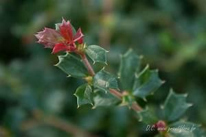 Arbuste À Feuillage Persistant : berberis darwini 39 nana 39 ~ Melissatoandfro.com Idées de Décoration