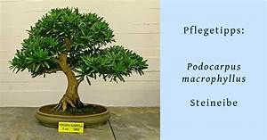 Ficus Bonsai Schneiden : bonsai schneiden anleitung bonsai schneiden anleitung und zeitpunkt bonsai schneiden ~ Indierocktalk.com Haus und Dekorationen