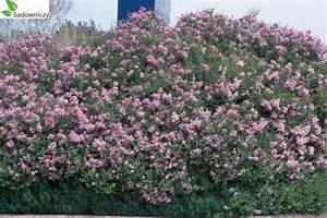 Wann Blüht Flieder : zwerg duftflieder syringa meyeri 39 palibin 39 pflanzen ~ Lizthompson.info Haus und Dekorationen