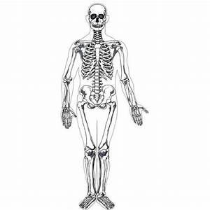 Human Skeleton Printable  Realistic  Anatomy  Not Cartoon