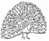 Peacock Coloring Pages Animal sketch template