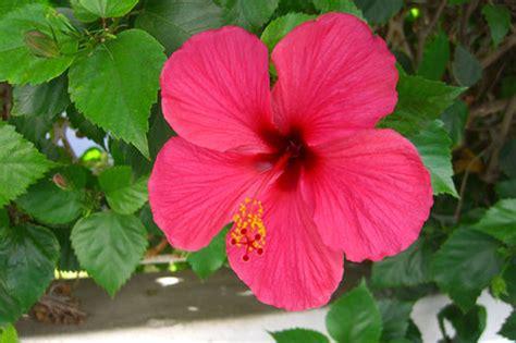 je de cuisine de fleur d 39 hibiscus photo de voyage fabrizzio le jardinier