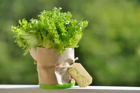 coltivare lattuga in vaso coltivare la lattuga 3 modi di farlo in casa www stile it