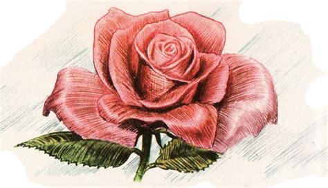 immagine fiore rosa disegni fiori