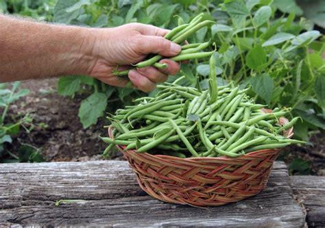 cuisiner des haricots verts en boite le b a ba des haricots verts