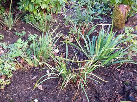 world of irises lifting dividing and transplanting
