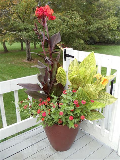 canna in pots tropicanna cannas zinnias in container garden flickr photo