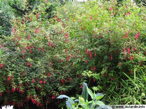 cuisiner en ligne fuchsia de magellan fuchsia magellanica conseils de culture