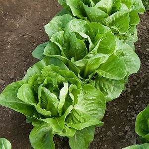 Coastal Star Romaine Leaf Lettuce - Bonnie Plants