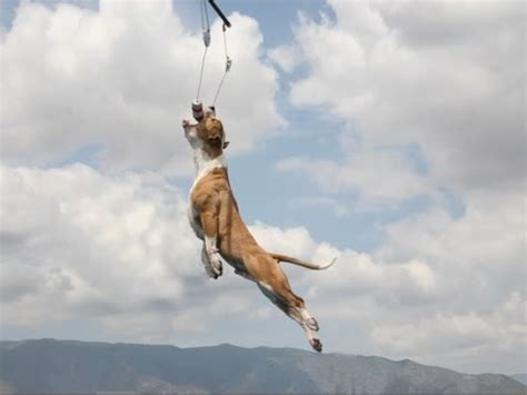 pit bull champion jumping dogs antara  leap